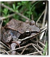 Wood Frog  Acrylic Print