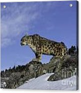 Leapard Look Out Acrylic Print