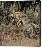 Leaping Coyote Acrylic Print
