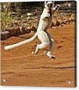 Leaping Lemur Acrylic Print