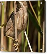 Least Bittern Pictures 14 Acrylic Print