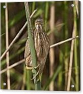 Least Bittern Pictures 22 Acrylic Print