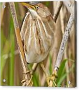 Least Bittern Pictures 35 Acrylic Print