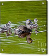 Least Grebe And Young Acrylic Print