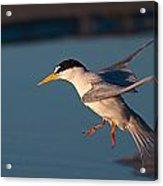 Least Tern In Flight Acrylic Print