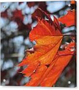 Leaves Backlit 3 Acrylic Print