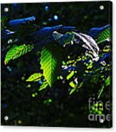 Leaves Of Shining Acrylic Print by Tim Rice