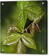 Leaves Of Three Acrylic Print