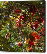 Leaves On Evergreen Acrylic Print