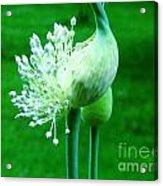 Leek Flower Acrylic Print