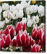 Leen Van Der Mark Tulips Acrylic Print