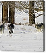 Legends Of The Lamar Valley Acrylic Print