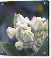 Lei Pua Kalaunu - Crown Flower - Calotropis Gigantea - Asclepiad Acrylic Print