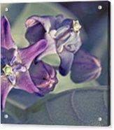 Lei Pua Kalaunu - Crown Flower - Calotropis Gigantea Acrylic Print