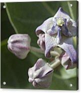 Lei Pua Kalaunu - Crown Flower - Calotropis Gigantea - Asclepiadaceae Acrylic Print