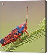 Leichhardts Grasshopper On Pityrodia Acrylic Print