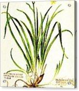 Lemon Daylily Botanical Acrylic Print