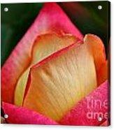 Lemon Raspberry Rosebud Acrylic Print