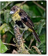 Lemon-rumped Tanager Molting Acrylic Print