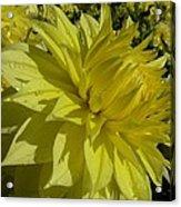 Lemon Yellow Dahlia  Acrylic Print