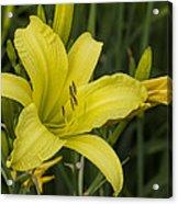 Lemon Yellow Daylily Blossom Acrylic Print