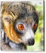Lemur 004 Acrylic Print