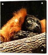 Lemur In Longing Acrylic Print