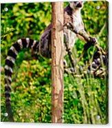 Lemur In The Green Acrylic Print