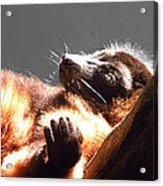 Lemur Lounging Acrylic Print