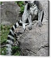 Lemur Pose Acrylic Print