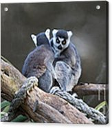 Lemur's Acrylic Print by Shannon Rogers