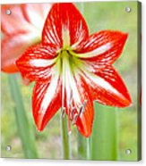 Lensbaby 2 Orange Red And White Amaryllis Blooms Acrylic Print