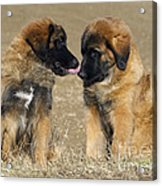 Leonberger Puppies Acrylic Print