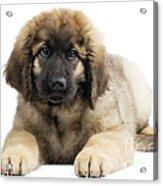 Leonberger Puppy Acrylic Print