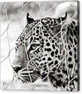 Leopard Black And White Photography Acrylic Print