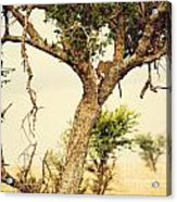 Leopard Eating His Victim On A Tree In Tanzania Acrylic Print