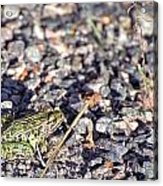 Leopard Frog And Gravel Acrylic Print
