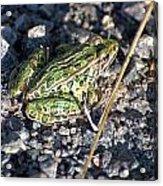 Leopard Frog In Gravel II Acrylic Print