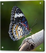 Leopard Lacewing Butterfly Acrylic Print