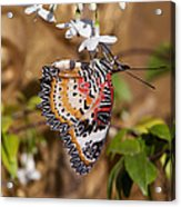 Leopard Lacewing Butterfly Dthu619 Acrylic Print