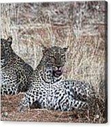 Leopard Mates Acrylic Print