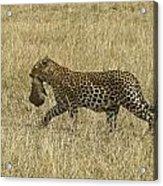Leopard On The Move Acrylic Print