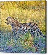 Leopard On The Prowl Acrylic Print