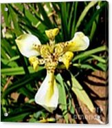 Leopard Orchid Acrylic Print