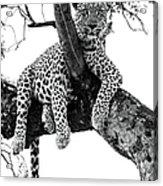 Leopard - Panthera Pardus. Leopard Will Acrylic Print