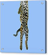 Leopard Panthera Pardus Acrylic Print