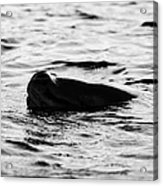 leopard seal peaking and breathing above water Antarctica Acrylic Print