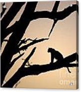 Leopard Sitting In A Tree Acrylic Print