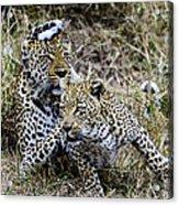 Leopard Tease Acrylic Print