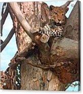Leopard Up A Tree Acrylic Print